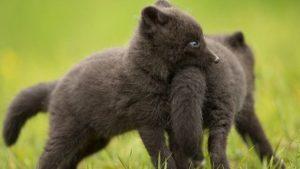 В мелитопольском зоопарке маленькие чернобурки начали есть мясо, — ВИДЕО