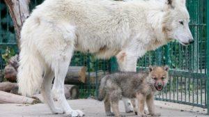 В Запорожской области в зоопарке родились семь полярных волков, — ВИДЕО