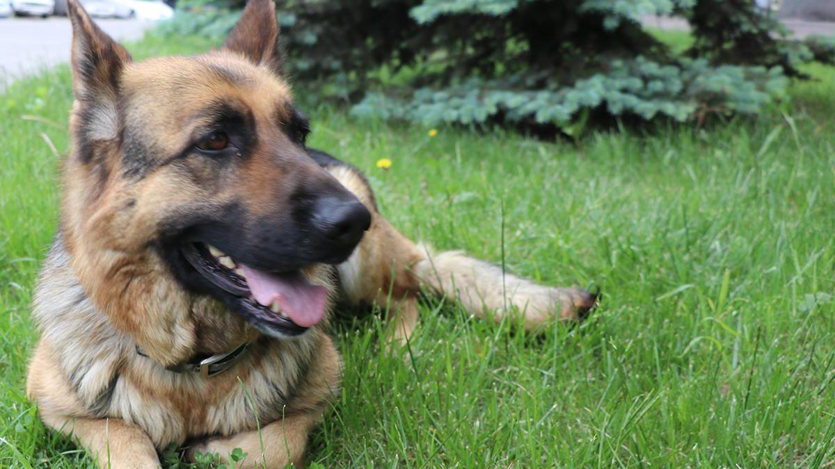 В Запорожской области служебный пес за несколько часов разыскал вора, – ФОТО