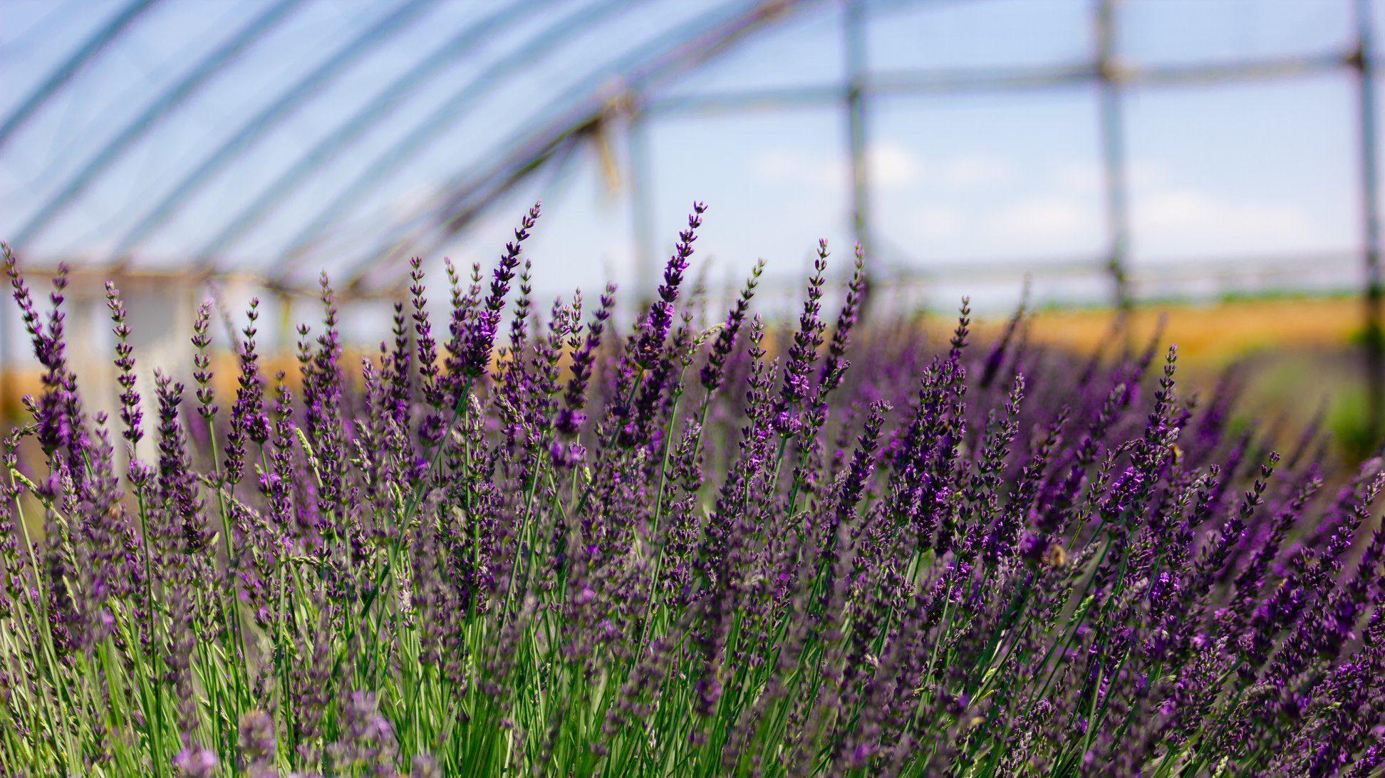 В селі Запорізької області місцева мешканка виростила лавандові поля, — ФОТО