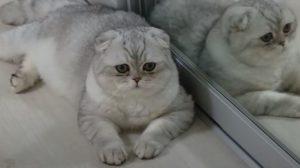 Кіт із Запоріжжя отримав титул найгарнішого в світі, — ВІДЕО