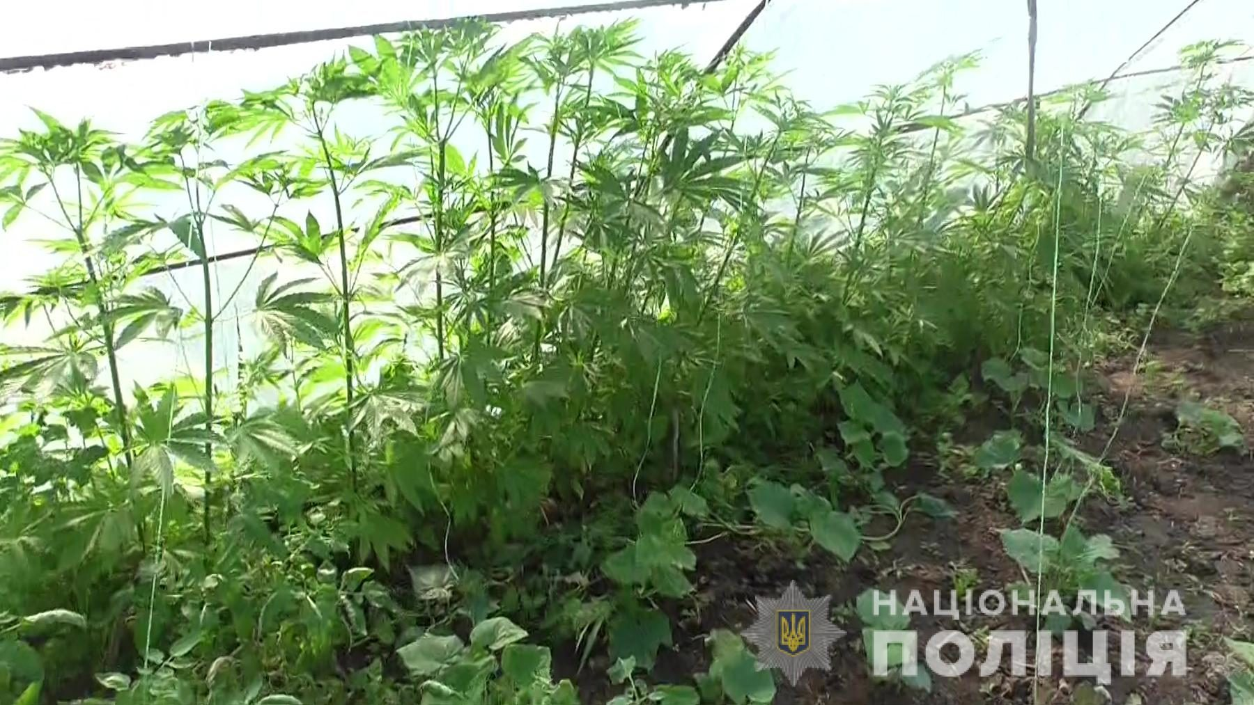 Житель Запорізької області вирощував у теплиці кущі конопель, – ФОТО