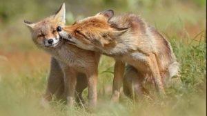 Запорожанка встретила на Бабурке семейство лис, — ВИДЕО