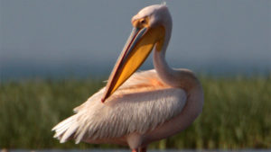 На Молочному лимані зафільмували пеліканів