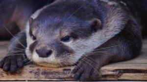 В василівському зоопарку оселилася видра, — ВІДЕО