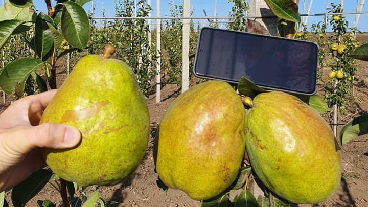 В Запорізькій області виросли груші-гігантки, — ФОТО