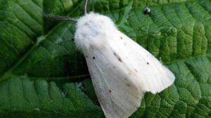 В двух районах Запорожской области ввели карантин из-за бабочки