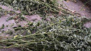 56-летняя жительница Запорожья может сесть за решетку на 7 лет за выращивание конопли
