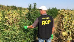 В Запорожской области на поле подсолнухов обнаружили многомиллионную плантацию конопли, – ФОТО