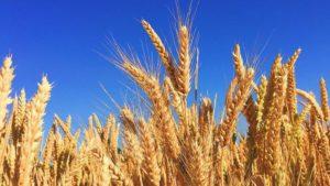 Урожай в Запорожской области оказался беднее, чем в прошлом году
