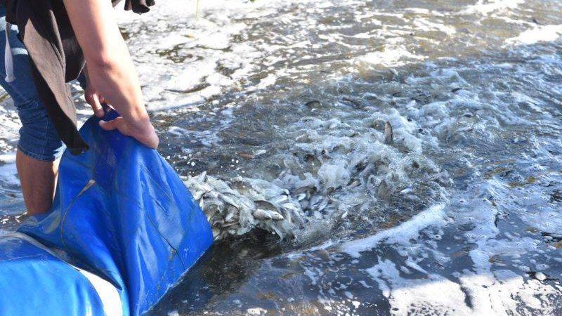 В воды Запорожской области выпустят 10 тонн молодой рыбы