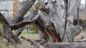 В Запорожье продолжает погибать 700-летний дуб, – ФОТОРЕПОРТАЖ