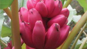 Мешканка Запоріжжя у себе вдома виростила рожевий оксамитовий банан, — ФОТО
