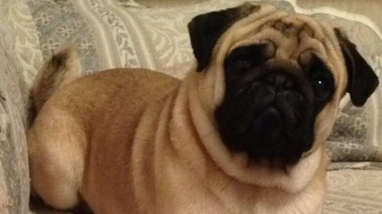 Мопс Гриша, который испугался фейерверков и сбежал из дома на 12 дней, умер на руках хозяев