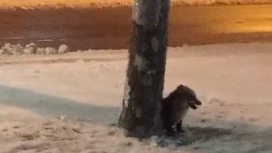 На території мікрорайону в Запоріжжі бачили лисицю: тварина виявилася ручною