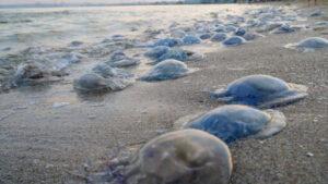 Эксперты рассказали, могут ли в этом году медузы испортить курортный сезон