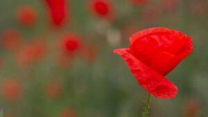 Как в Запорожье цветут маки, — ФОТО