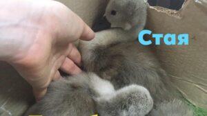 Запорожская зоозащитница спасает птенцов лебедей, чьих родителей расстреляли