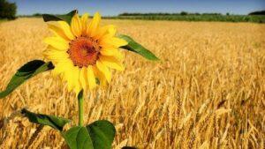 В Запорожской области продолжается жатва: урожая намного больше, чем в прошлом году