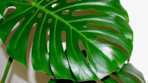 В запорізькому ботанічному саду дозріла тропічна ліана, — ФОТО