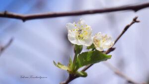 В Запоріжжі зафільмували вишневе дерево, яке почало квітнути у жовтні, — ФОТО
