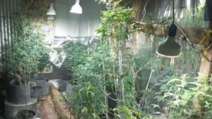 В Запорожской области будут судить женщину, которая выращивала дома почти 200 кустов конопли, – ФОТО